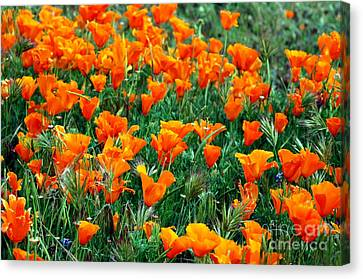 Canvas Print featuring the photograph Fields Of Poppies by Johanne Peale