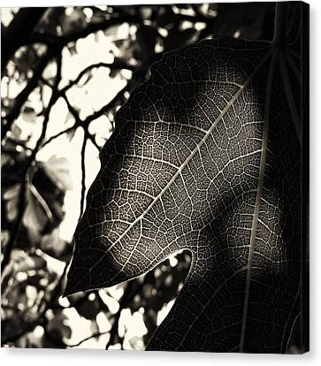 Figtree Canvas Print - Fig Tree by Tim Nichols