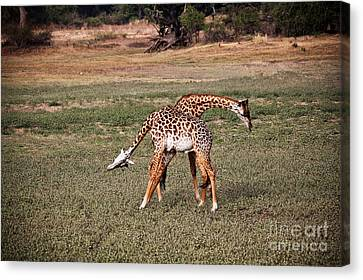 Fighting Giraffe Canvas Print