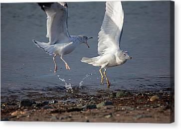 Fighting Gulls Canvas Print by Karol Livote