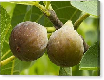 Canvas Print featuring the photograph Figs by Carrie Cranwill