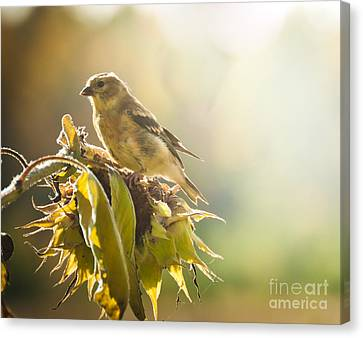 Canvas Print featuring the photograph Finch Aglow by Cheryl Baxter