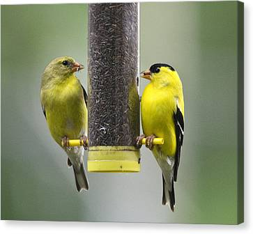 Finch Couple Canvas Print