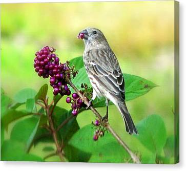 Finch Eating Beautyberry Canvas Print by Peg Urban
