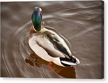 Fine Feathered Mallard Duck Canvas Print by Ann Murphy