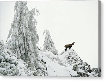 Fir Trees And Chamois In Snow Canvas Print