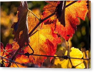 Fire Colored Autumn Backlit Leaves Canvas Print by Dina Calvarese
