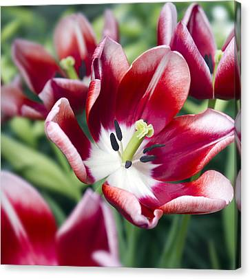 Tulips Canvas Print - Fire Red by Peter Chilelli