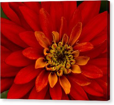Canvas Print featuring the photograph Firecracker by Carrie Cranwill
