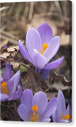 First Crocus Blooms Canvas Print