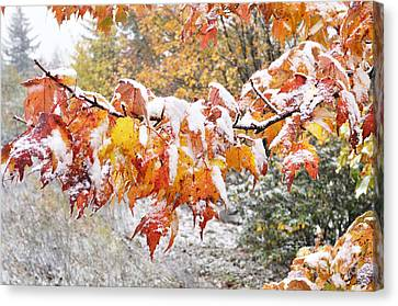 First Snow Canvas Print by Thomas R Fletcher