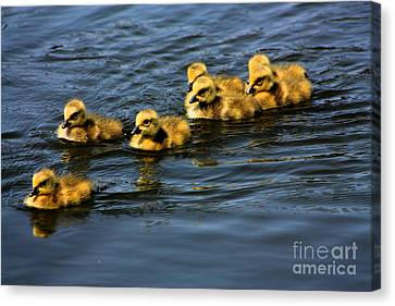 Geese Canvas Print - First Swim Baby Geese by Nick Gustafson