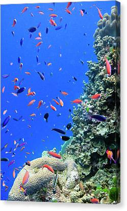 Fish On Tropical Coral Reef Canvas Print by Carl Chapman