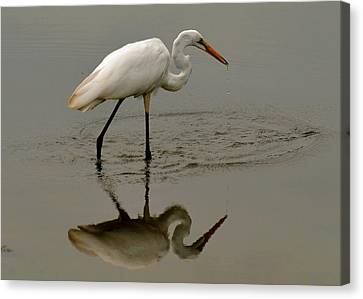 Fishing Egret With Droplets - C3282q Canvas Print by Paul Lyndon Phillips