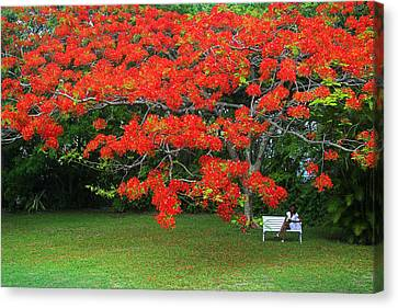 Canvas Print featuring the photograph Flamboyant Tree- St Lucia by Chester Williams
