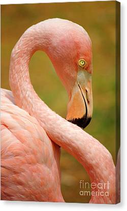 Tropical Bird Postcards Canvas Print - Flamingo by Carlos Caetano