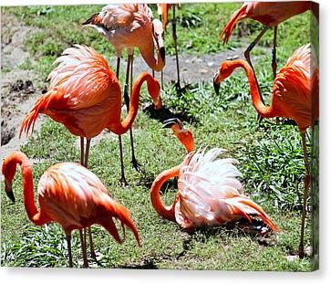 Flamingo Face-off Canvas Print by Elizabeth Hart
