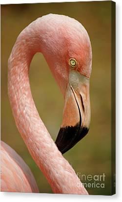Tropical Bird Postcards Canvas Print - Flamingo Head by Carlos Caetano