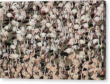 Flamingos Canvas Print by Original Artworks by Grooveworks (Flickr name - jules_art)
