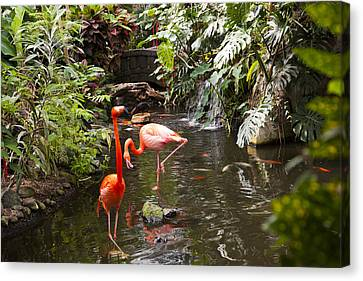Flamingos Wades In Shallow Water Canvas Print by Taylor S. Kennedy