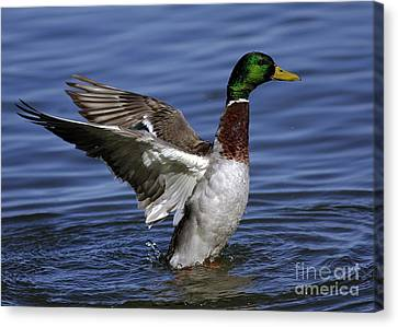 Flapping At Dusk Canvas Print by Inspired Nature Photography Fine Art Photography