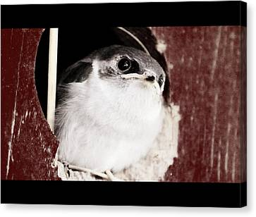 Fledgling Curiosity  Canvas Print