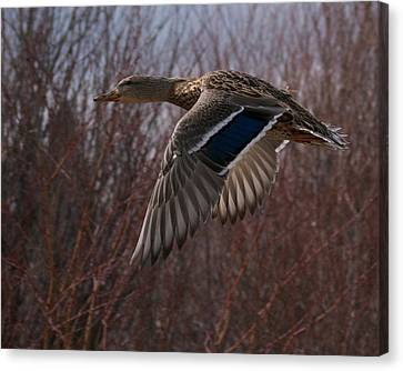 Flight Is Beautiful Canvas Print by Kevin Bone