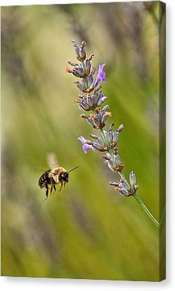 Flight Of The Bumble Canvas Print by Karol Livote