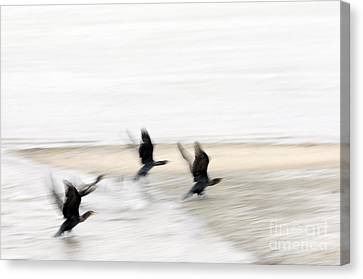 Flight Of The Cormorants Canvas Print by David Lade