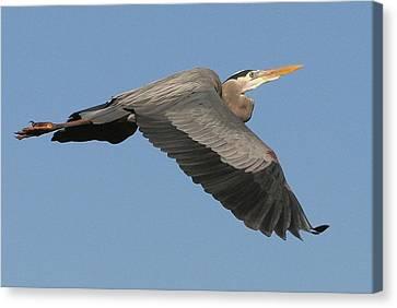 Flight Of The Great Blue Heron Canvas Print by Myrna Bradshaw