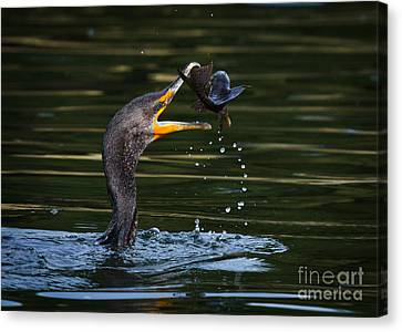 Phalacrocorax Auritus Canvas Print - Flippin Fish by Carl Jackson