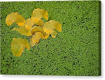 Canvas Print featuring the photograph Floating Cottonwood Leaves by Peg Toliver