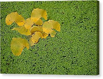 Floating Cottonwood Leaves Canvas Print