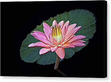 Floating Water Lily Canvas Print