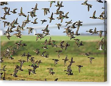 Flock Of Common Teal Canvas Print by Duncan Shaw