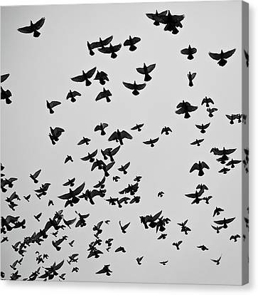 Flock Of Flying Pigeons Canvas Print by Photography by Ellen L. Soohoo
