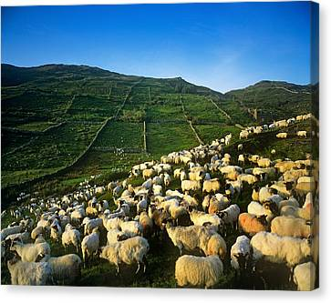 Flock Of Sheep In A Field, Maam Cross Canvas Print
