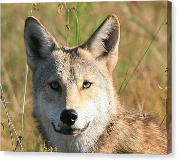 Florida Coyote Portrait  Canvas Print