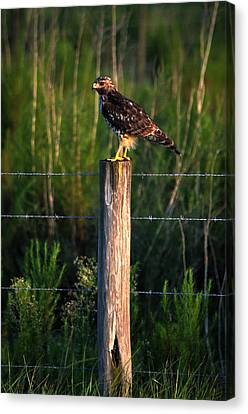 Florida Red-shouldered Hawk Canvas Print by Ronald T Williams