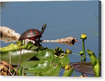 Florida Redbelly Turtle Canvas Print by Peg Urban