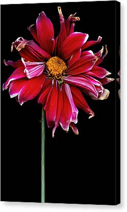 Flower - Bad Hair Day  Canvas Print by Mike Savad