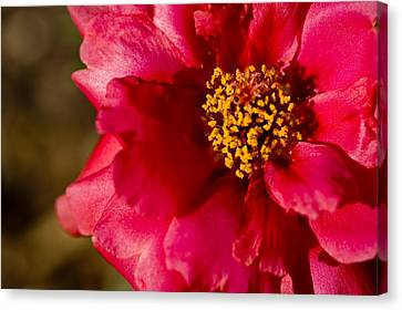 Canvas Print featuring the photograph Flower Carpet Rose by Rob Hemphill