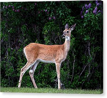 Canvas Print featuring the photograph Flower Deer by Steve McKinzie