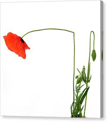 Flower Poppy In Studio. Papaver Rhoeas. Canvas Print by Bernard Jaubert