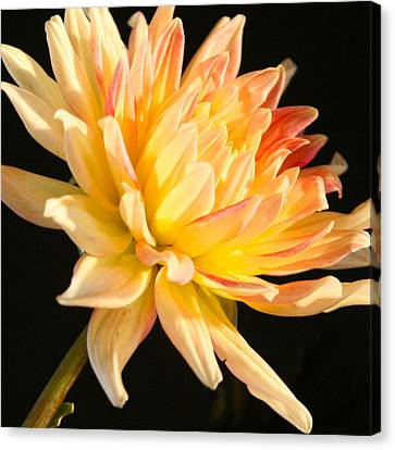 Canvas Print featuring the photograph Flower Reflected On Black by Donna Corless