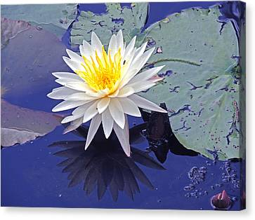 Flowering Lily-pad- St Marks Fl Canvas Print