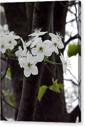 Flowering Tree 4 Canvas Print by Gerald Strine