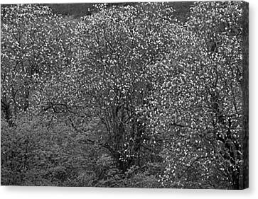 Canvas Print featuring the photograph Flowering Trees- St Lucia by Chester Williams