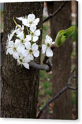 Canvas Print featuring the photograph Floweringtree 2 by Gerald Strine