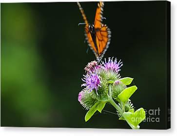 Fluttering Away... Canvas Print by Christine Kapler